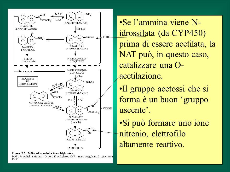 Se l'ammina viene N-idrossilata (da CYP450) prima di essere acetilata, la NAT può, in questo caso, catalizzare una O-acetilazione.