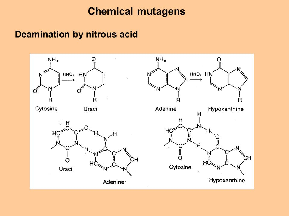 Chemical mutagens Deamination by nitrous acid
