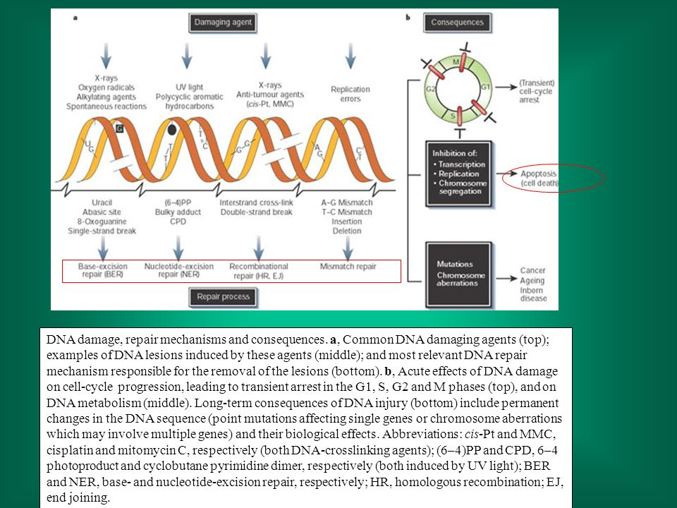 DNA damage, repair mechanisms and consequences