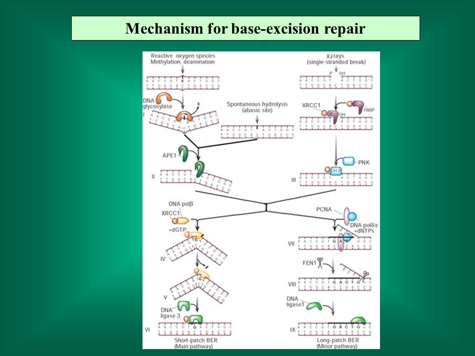 Mechanism for base-excision repair