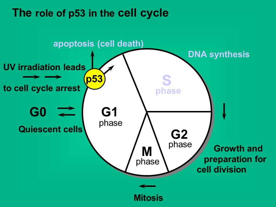 S G0 G1 G2 M The role of p53 in the cell cycle p53