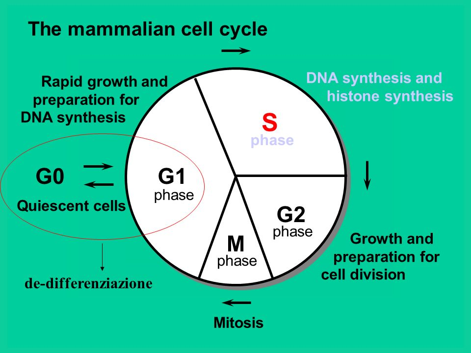 S G0 G1 G2 M The mammalian cell cycle de-differenziazione