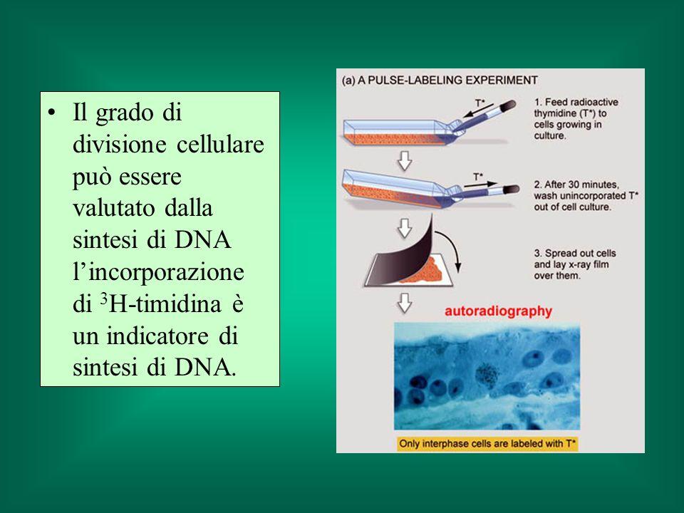 Il grado di divisione cellulare può essere valutato dalla sintesi di DNA l'incorporazione di 3H-timidina è un indicatore di sintesi di DNA.