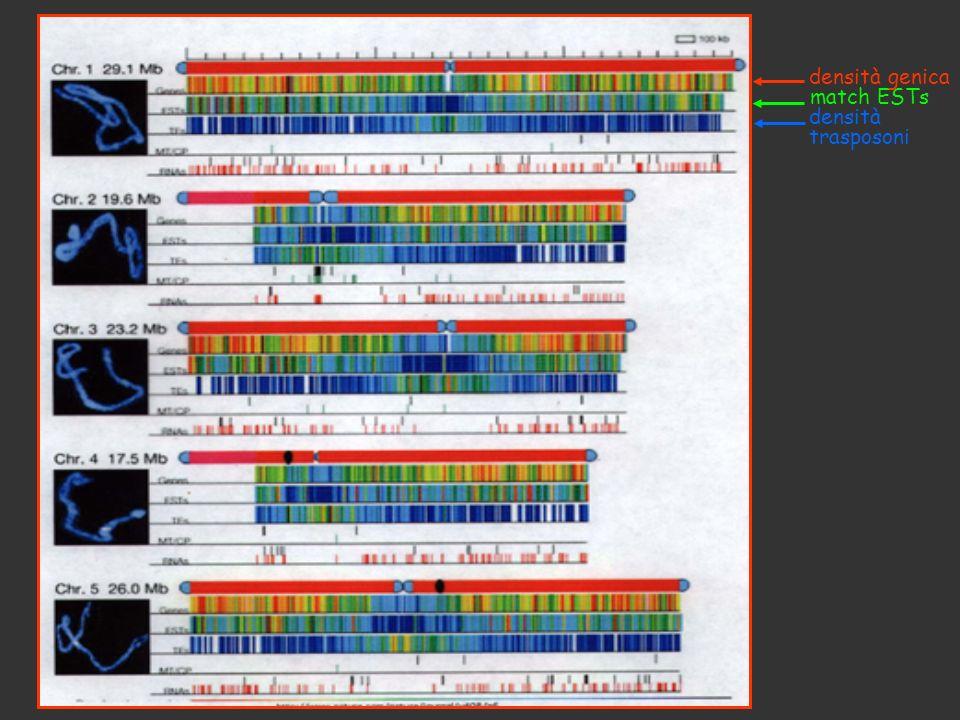 densità genica match ESTs densità trasposoni