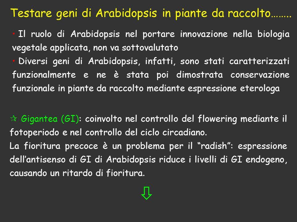 Testare geni di Arabidopsis in piante da raccolto……..