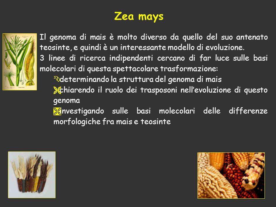 Zea mays Il genoma di mais è molto diverso da quello del suo antenato teosinte, e quindi è un interessante modello di evoluzione.