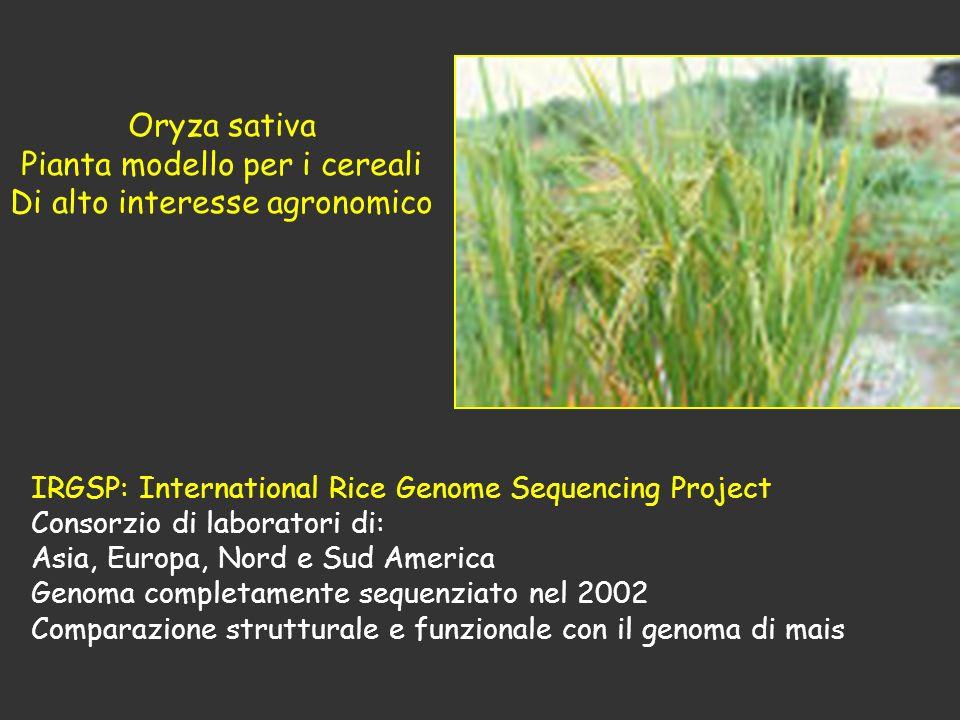 Pianta modello per i cereali Di alto interesse agronomico