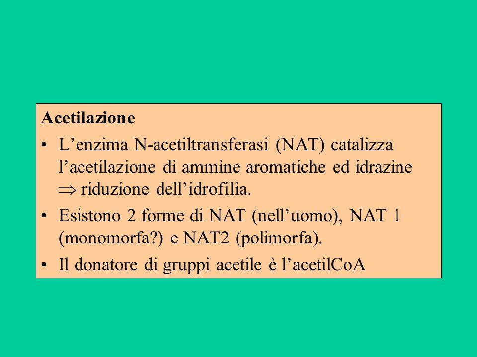 Acetilazione L'enzima N-acetiltransferasi (NAT) catalizza l'acetilazione di ammine aromatiche ed idrazine  riduzione dell'idrofilia.