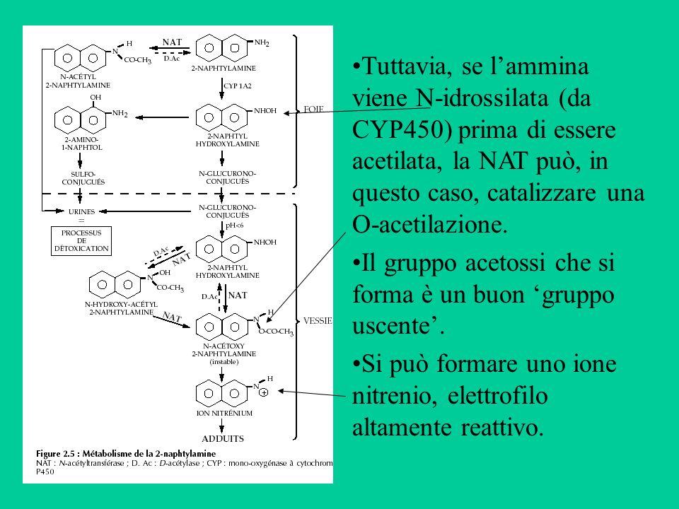 Tuttavia, se l'ammina viene N-idrossilata (da CYP450) prima di essere acetilata, la NAT può, in questo caso, catalizzare una O-acetilazione.