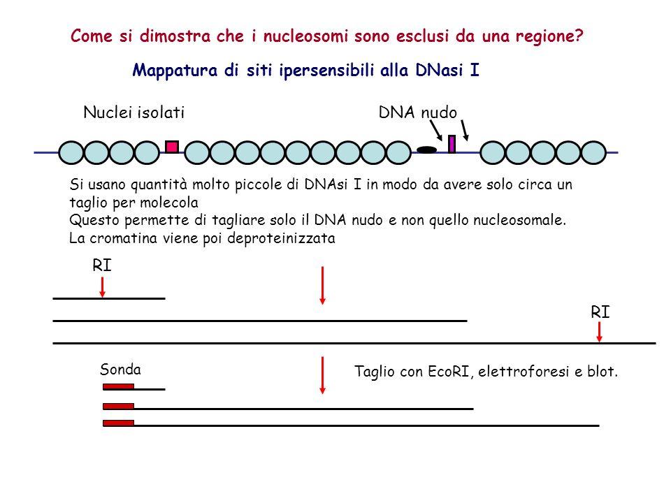 Come si dimostra che i nucleosomi sono esclusi da una regione