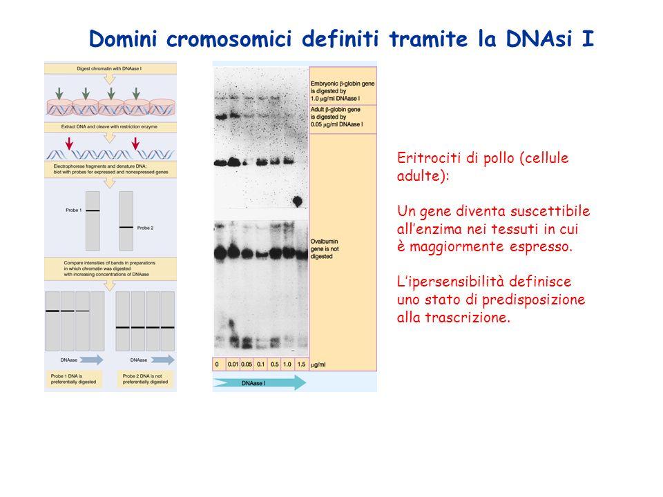 Domini cromosomici definiti tramite la DNAsi I