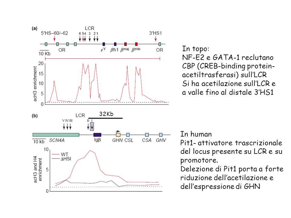CBP (CREB-binding protein- acetiltrasferasi) sull'LCR