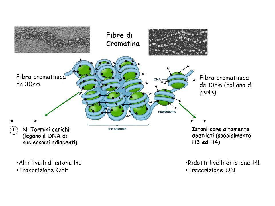 Fibre di Cromatina Fibra cromatinica da 30nm Fibra cromatinica