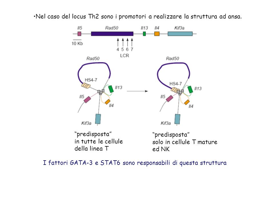Nel caso del locus Th2 sono i promotori a realizzare la struttura ad ansa.