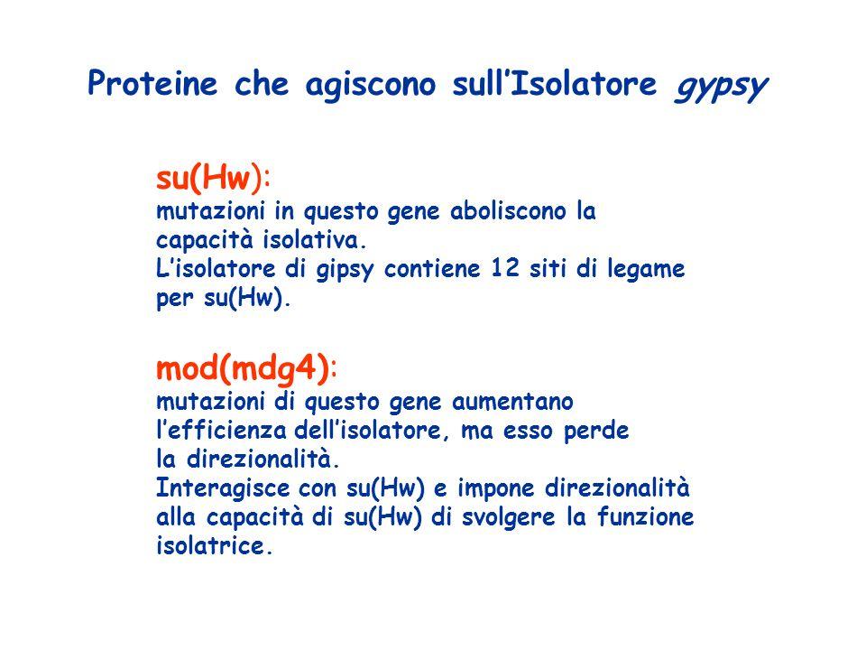 Proteine che agiscono sull'Isolatore gypsy