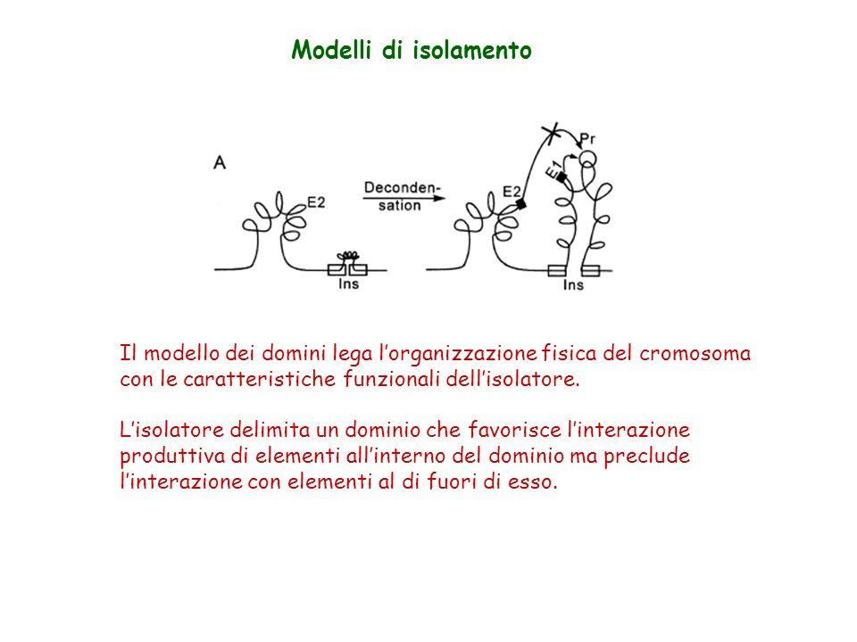Modelli di isolamento Il modello dei domini lega l'organizzazione fisica del cromosoma. con le caratteristiche funzionali dell'isolatore.