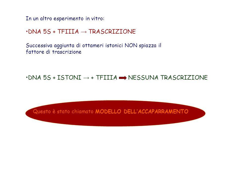 DNA 5S + TFIIIA → TRASCRIZIONE
