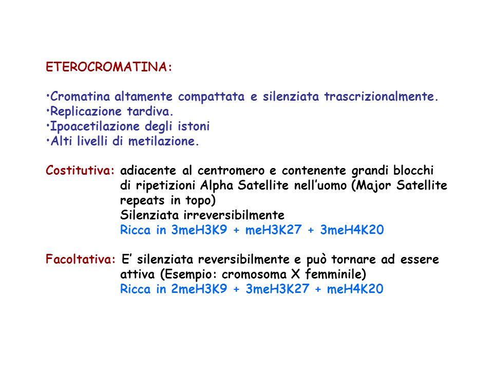 ETEROCROMATINA: Cromatina altamente compattata e silenziata trascrizionalmente. Replicazione tardiva.