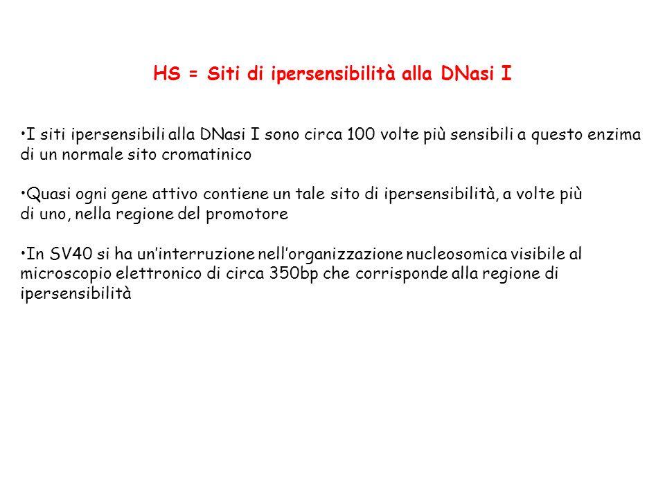 HS = Siti di ipersensibilità alla DNasi I