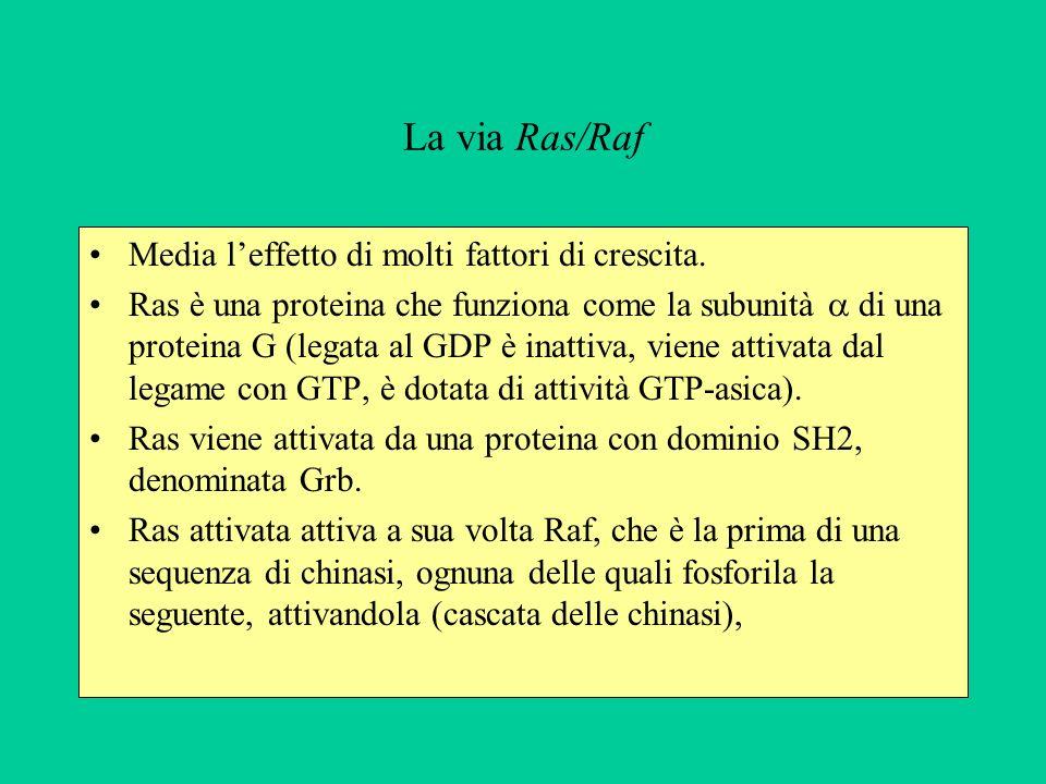 La via Ras/Raf Media l'effetto di molti fattori di crescita.