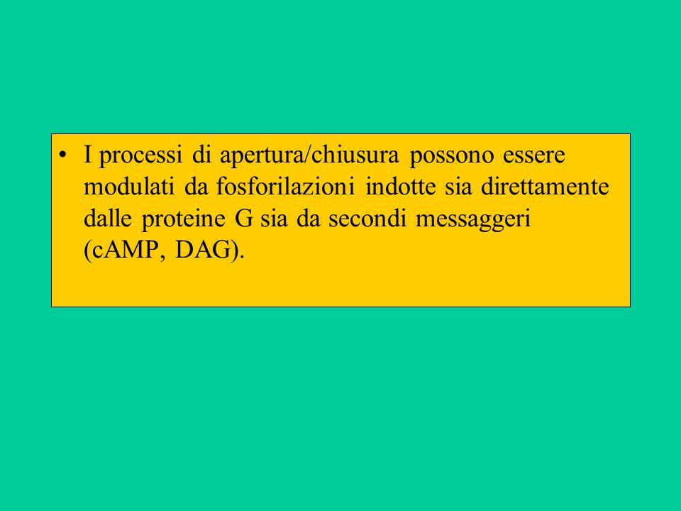 I processi di apertura/chiusura possono essere modulati da fosforilazioni indotte sia direttamente dalle proteine G sia da secondi messaggeri (cAMP, DAG).