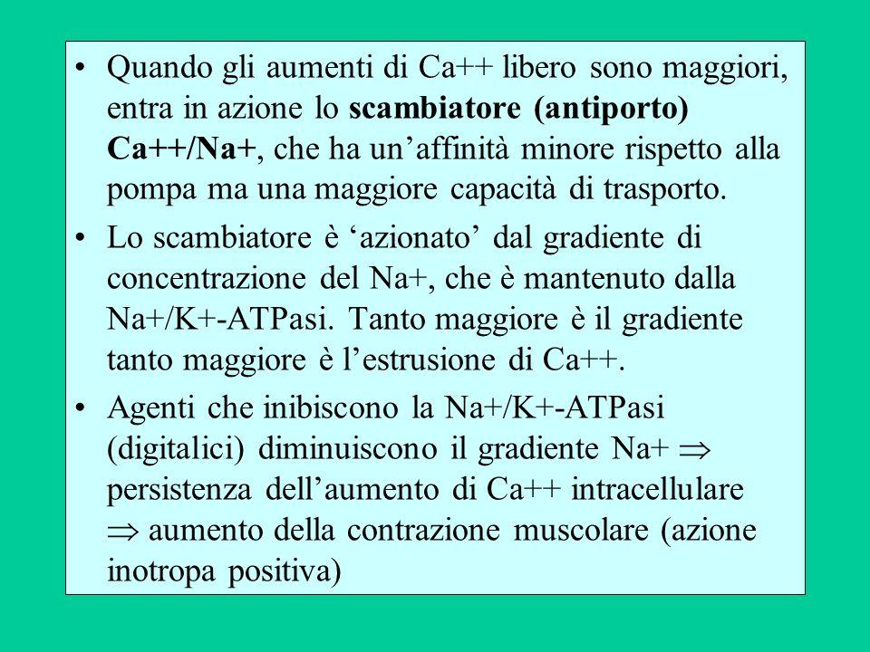 Quando gli aumenti di Ca++ libero sono maggiori, entra in azione lo scambiatore (antiporto) Ca++/Na+, che ha un'affinità minore rispetto alla pompa ma una maggiore capacità di trasporto.