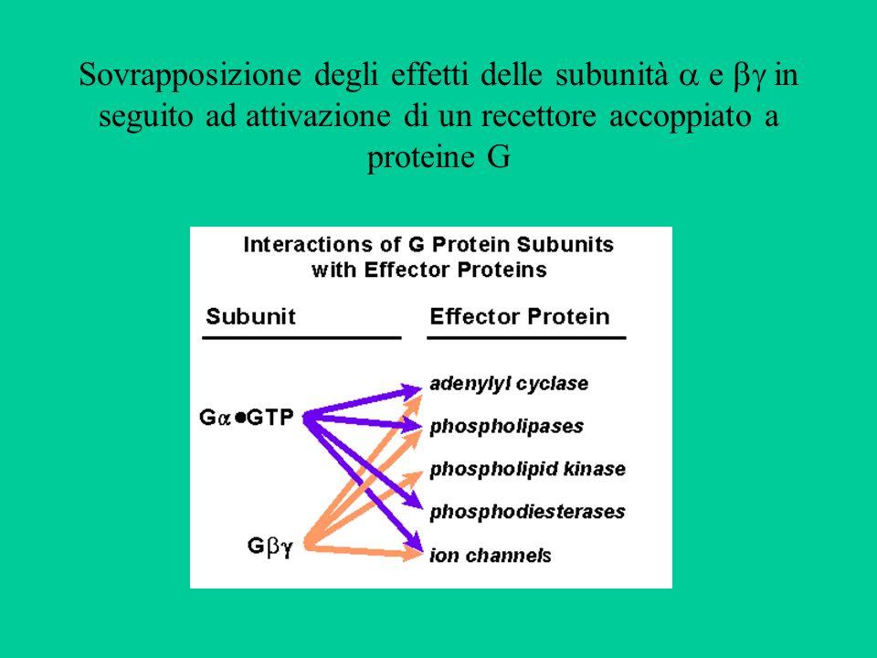 Sovrapposizione degli effetti delle subunità  e  in seguito ad attivazione di un recettore accoppiato a proteine G