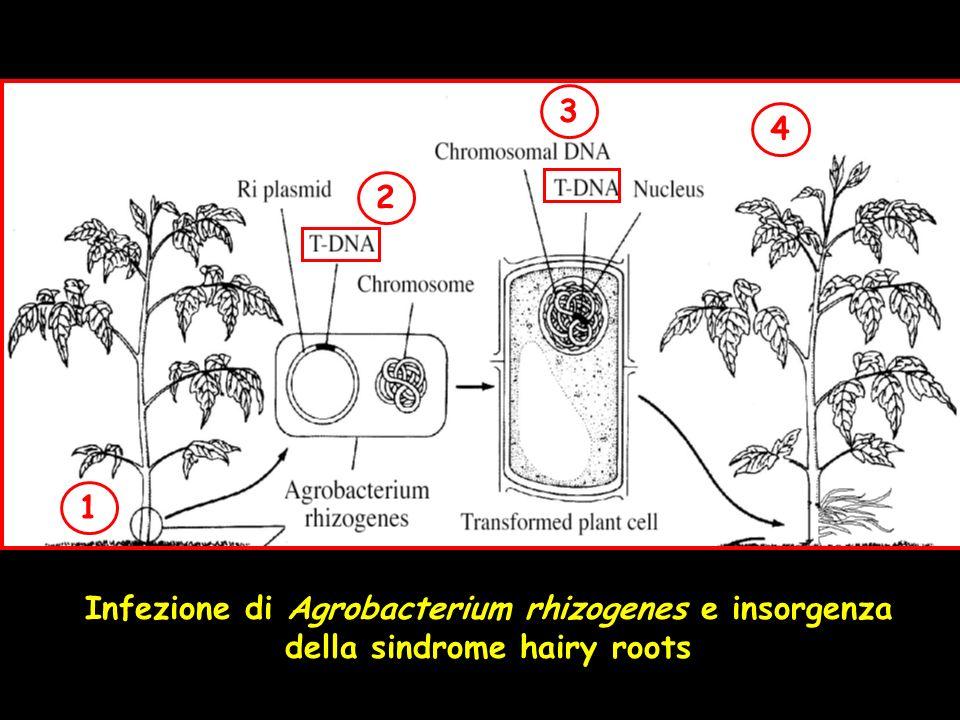 1 2 3 4 Infezione di Agrobacterium rhizogenes e insorgenza della sindrome hairy roots