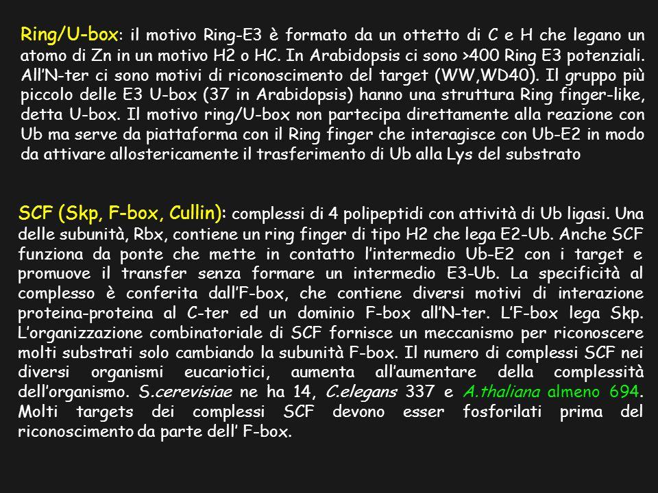 Ring/U-box: il motivo Ring-E3 è formato da un ottetto di C e H che legano un atomo di Zn in un motivo H2 o HC. In Arabidopsis ci sono >400 Ring E3 potenziali. All'N-ter ci sono motivi di riconoscimento del target (WW,WD40). Il gruppo più piccolo delle E3 U-box (37 in Arabidopsis) hanno una struttura Ring finger-like, detta U-box. Il motivo ring/U-box non partecipa direttamente alla reazione con Ub ma serve da piattaforma con il Ring finger che interagisce con Ub-E2 in modo da attivare allostericamente il trasferimento di Ub alla Lys del substrato