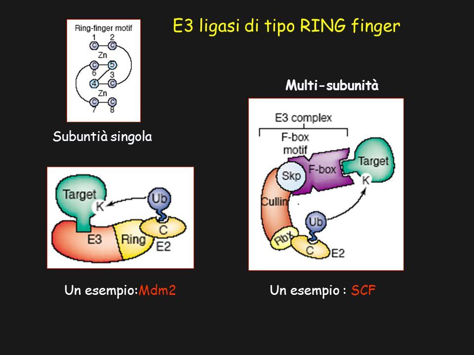 E3 ligasi di tipo RING finger