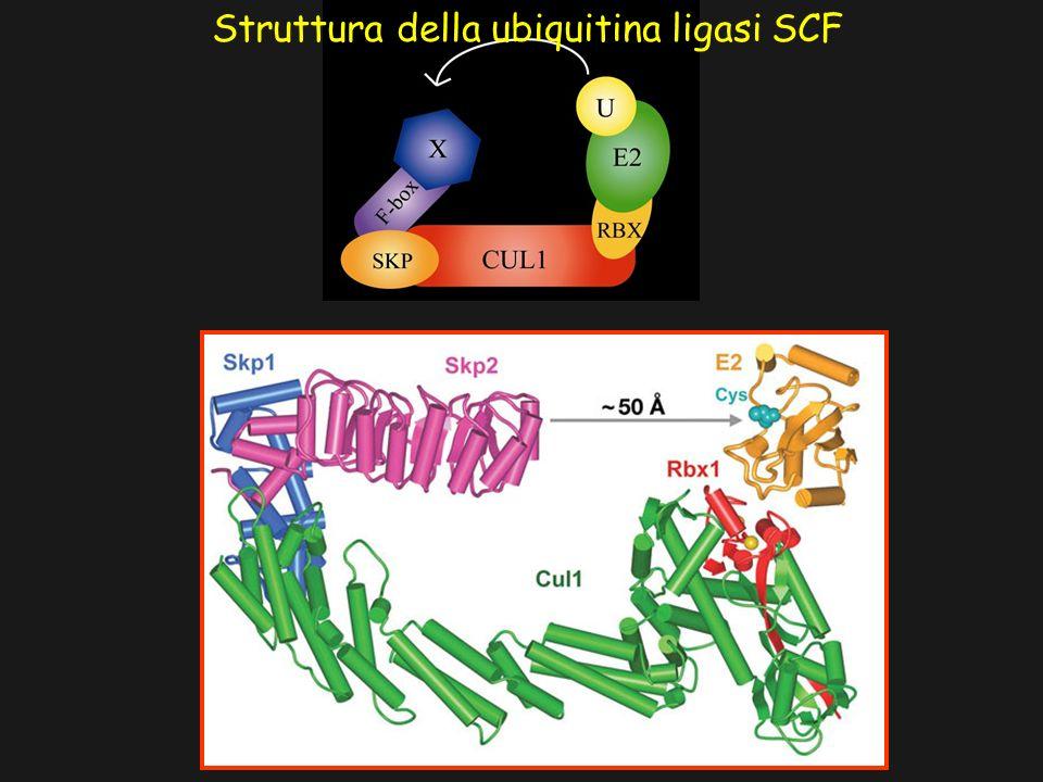 Struttura della ubiquitina ligasi SCF