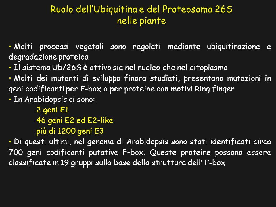 Ruolo dell'Ubiquitina e del Proteosoma 26S