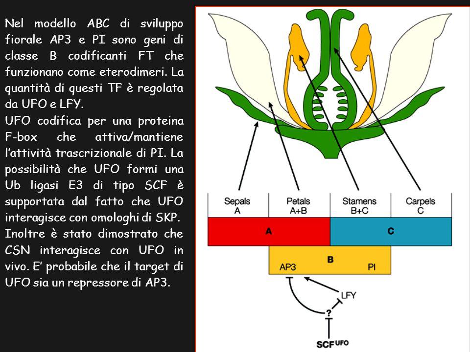 Nel modello ABC di sviluppo fiorale AP3 e PI sono geni di classe B codificanti FT che funzionano come eterodimeri. La quantità di questi TF è regolata da UFO e LFY.