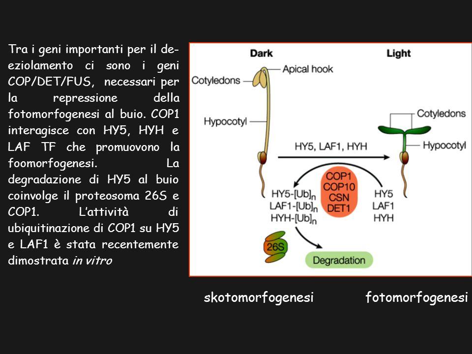 skotomorfogenesi fotomorfogenesi