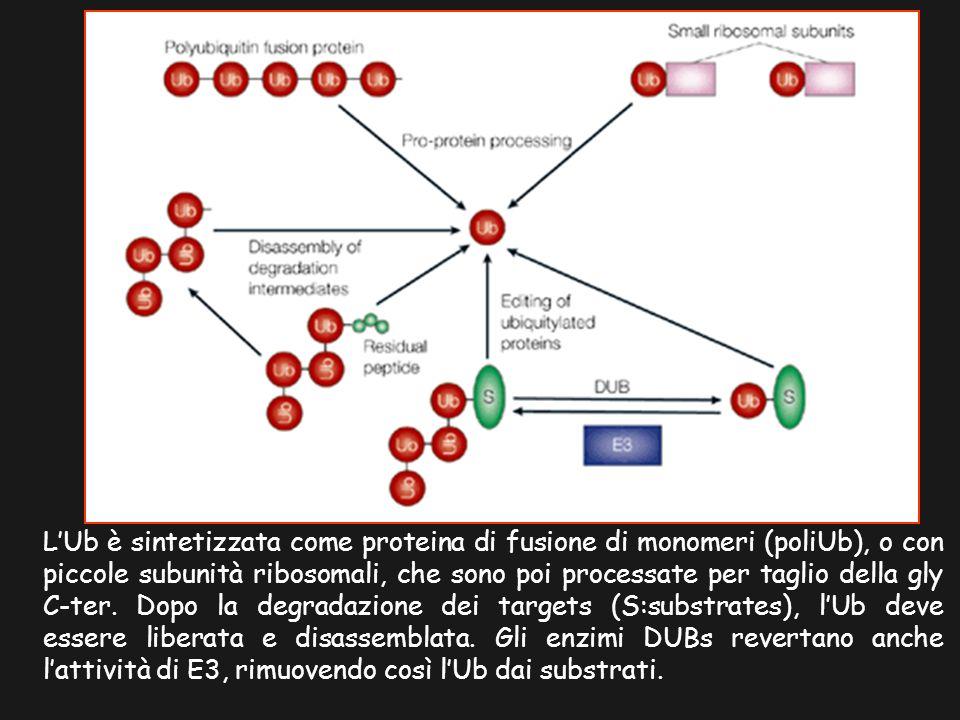 L'Ub è sintetizzata come proteina di fusione di monomeri (poliUb), o con piccole subunità ribosomali, che sono poi processate per taglio della gly C-ter.