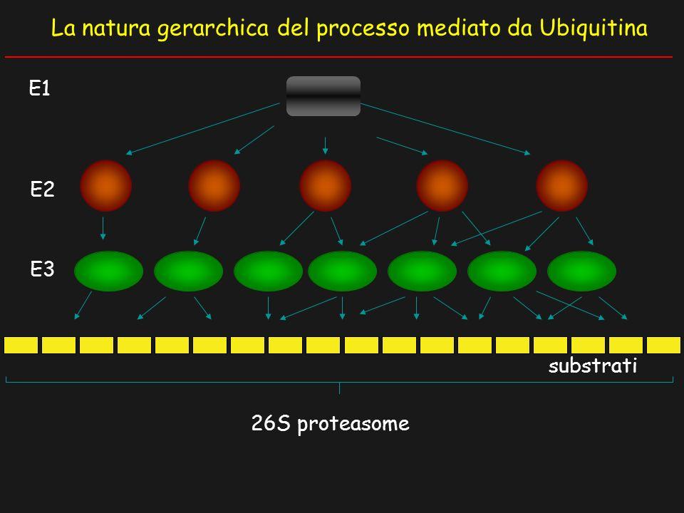 La natura gerarchica del processo mediato da Ubiquitina