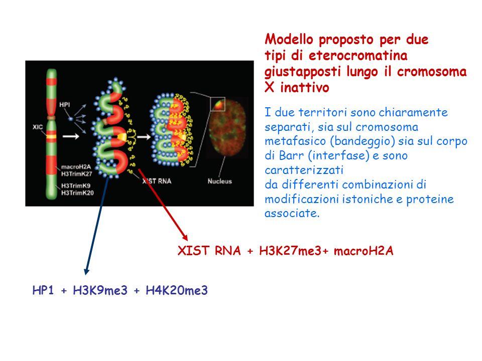 Modello proposto per due tipi di eterocromatina