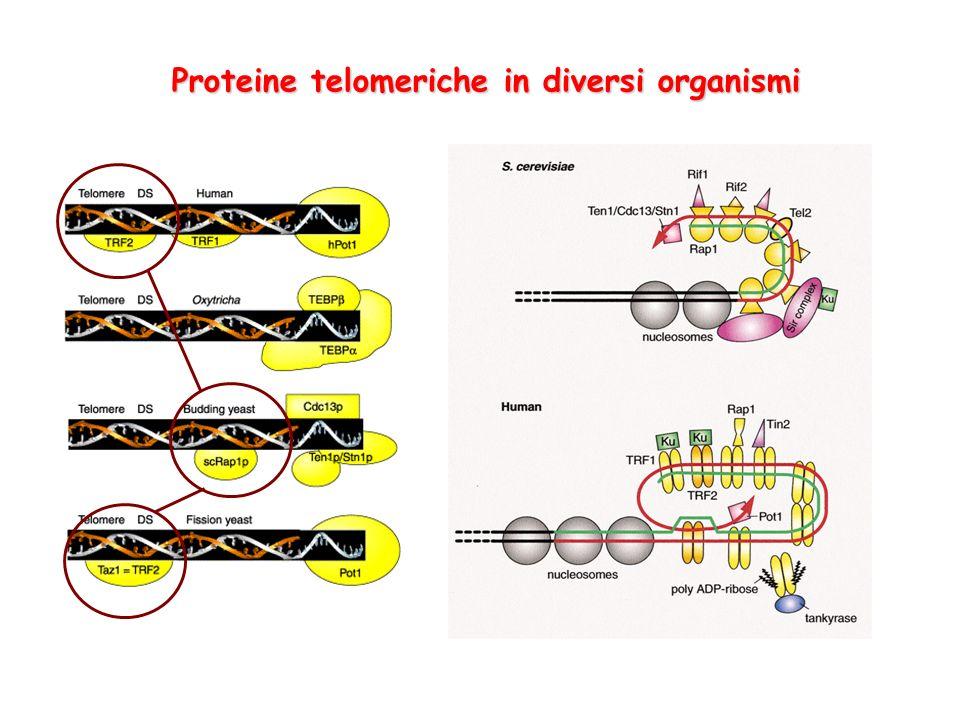 Proteine telomeriche in diversi organismi