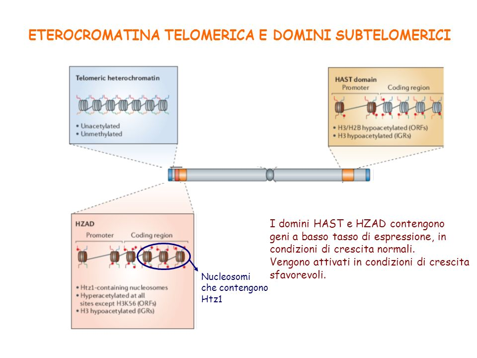 ETEROCROMATINA TELOMERICA E DOMINI SUBTELOMERICI