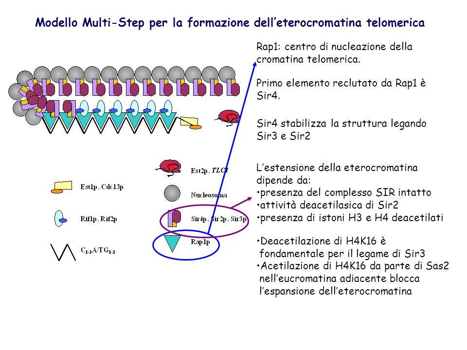 Modello Multi-Step per la formazione dell'eterocromatina telomerica