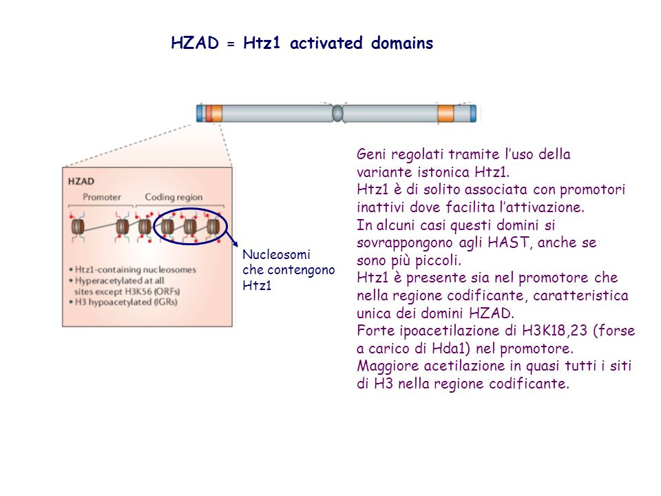 HZAD = Htz1 activated domains
