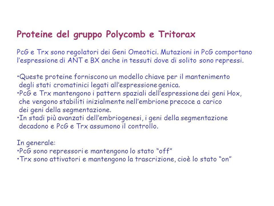 Proteine del gruppo Polycomb e Tritorax