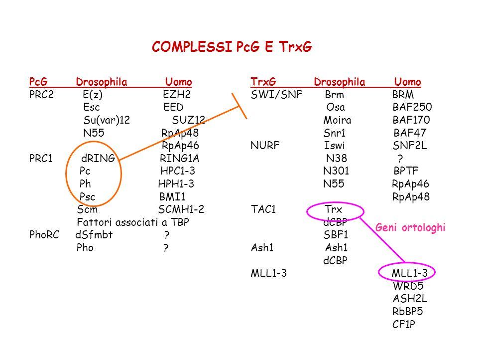 COMPLESSI PcG E TrxG PcG Drosophila Uomo PRC2 E(z) EZH2 Esc EED