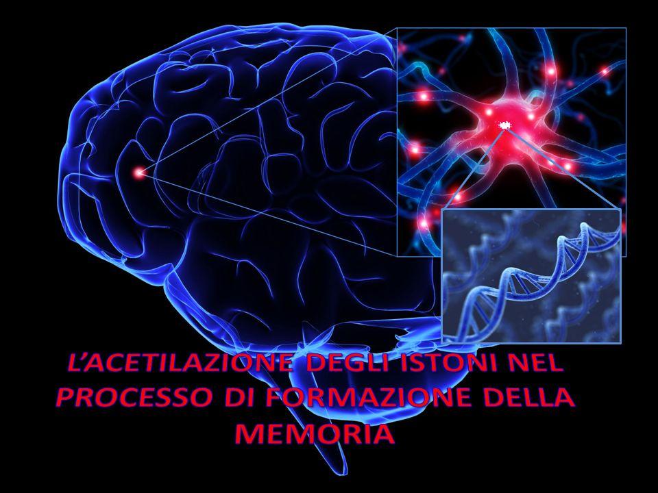 L'ACETILAZIONE DEGLI ISTONI NEL PROCESSO DI FORMAZIONE DELLA MEMORIA