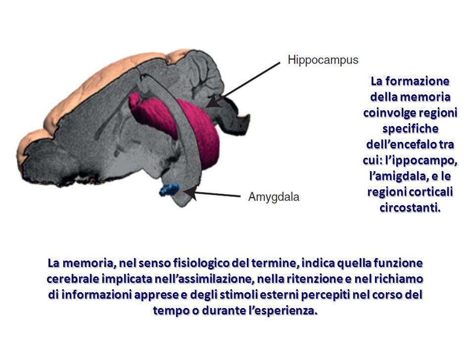 La formazione della memoria coinvolge regioni specifiche dell'encefalo tra cui: l'ippocampo, l'amigdala, e le regioni corticali circostanti.