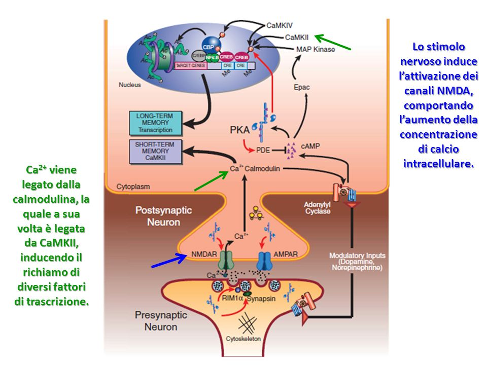 Lo stimolo nervoso induce l'attivazione dei canali NMDA, comportando l'aumento della concentrazione di calcio intracellulare.