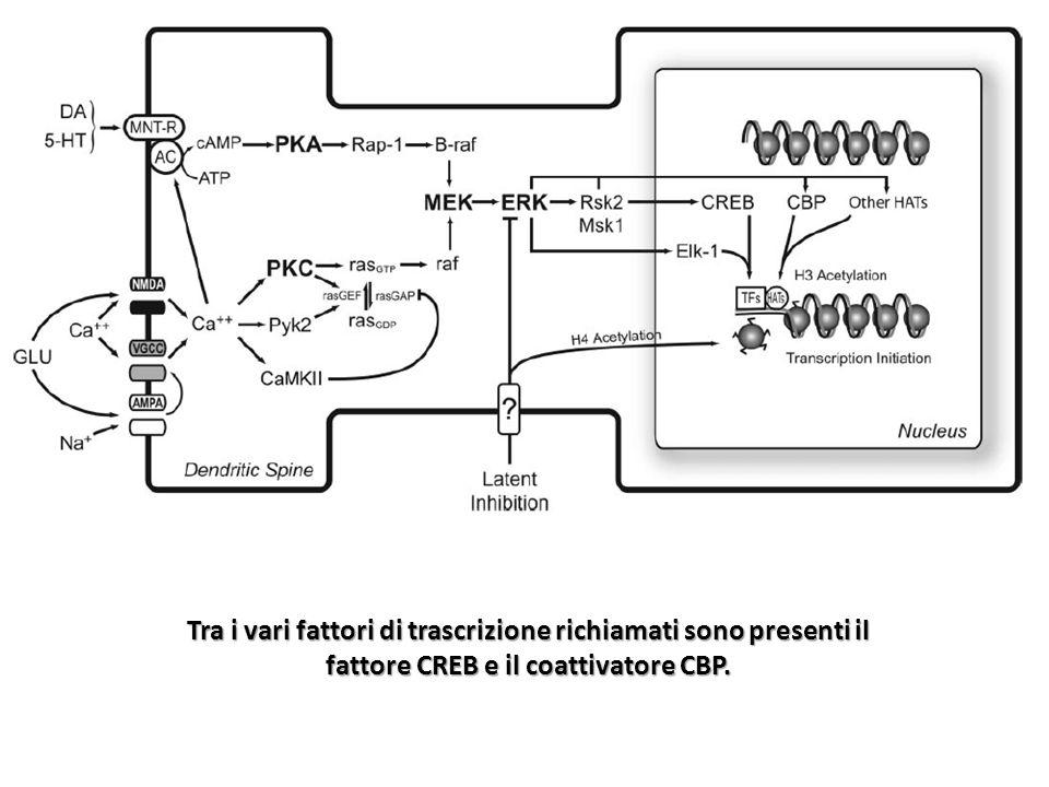Tra i vari fattori di trascrizione richiamati sono presenti il fattore CREB e il coattivatore CBP.