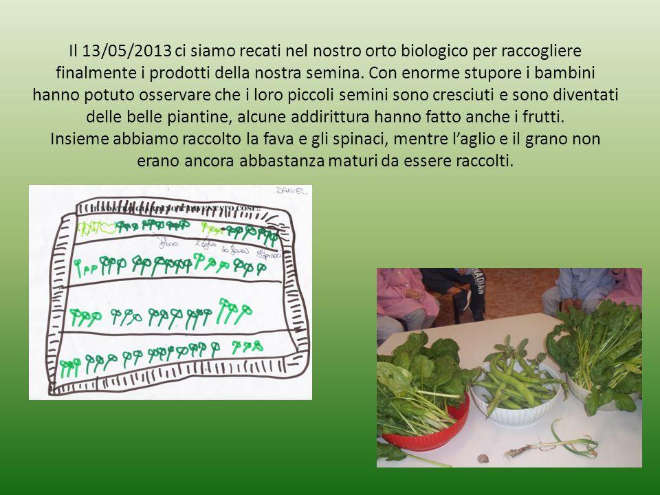 Il 13/05/2013 ci siamo recati nel nostro orto biologico per raccogliere finalmente i prodotti della nostra semina.
