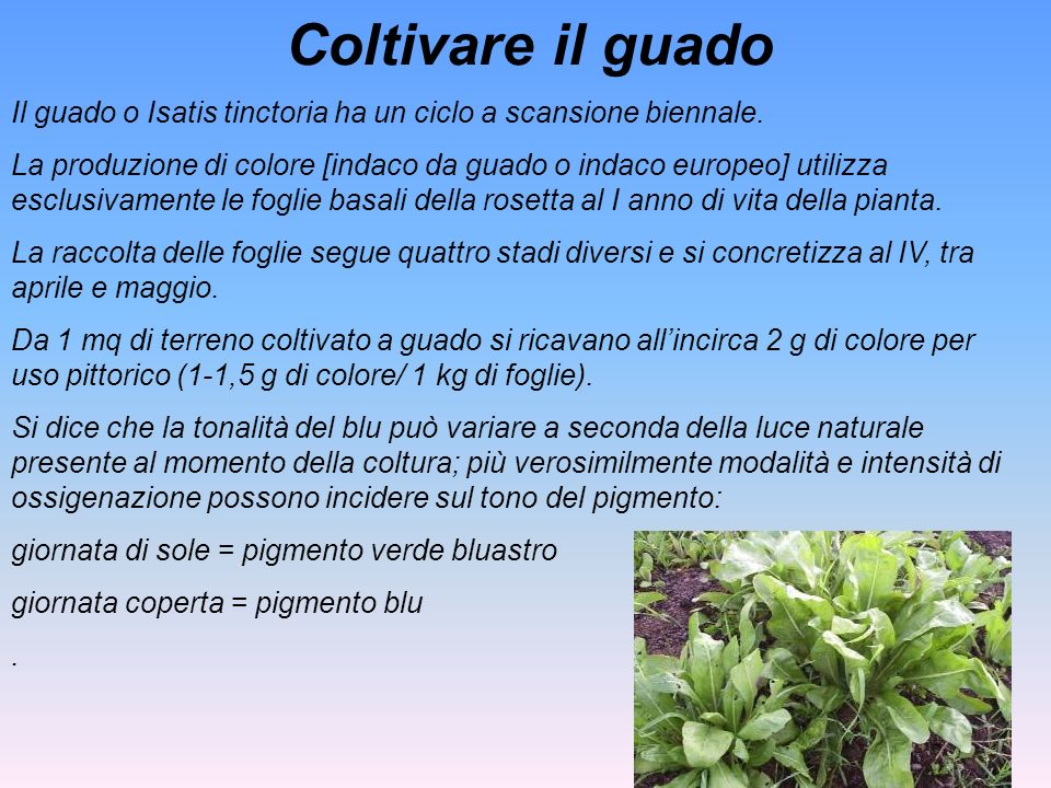Coltivare il guado Il guado o Isatis tinctoria ha un ciclo a scansione biennale.