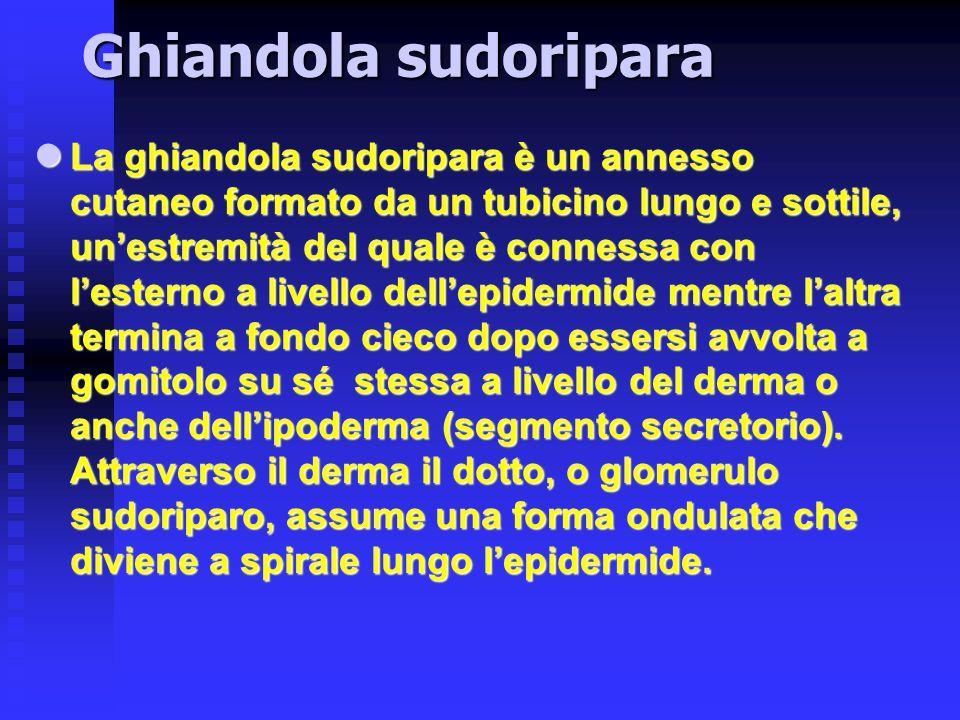 Ghiandola sudoripara